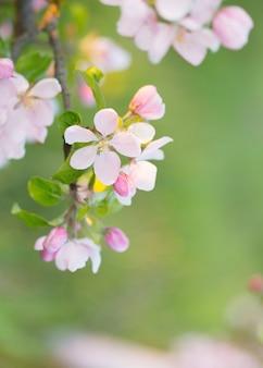 야외 햇빛에 분홍색과 흰색 사과 꽃