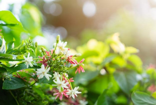 Розово-белая китайская жимолость с солнечным светом