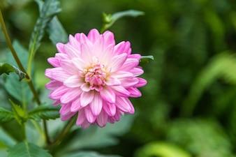Pink and white dahlia flower in garden.