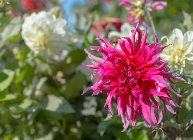公園の緑の葉に対してピンクと白のダリアの花