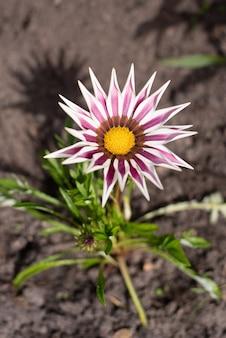 여름에 정원에서 분홍색과 흰색 가타니아 꽃이 자랍니다.