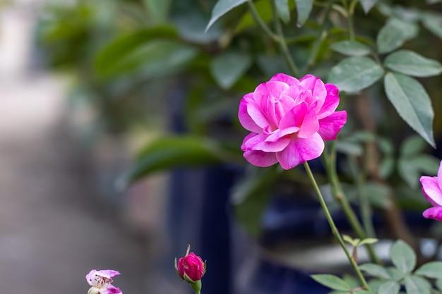 분홍색과 흰색 여러 가지 빛깔의 피어 있던 장미 정원에서 꽃 봉오리
