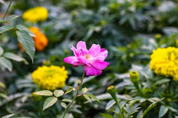 분홍색과 흰색 여러 가지 빛깔의 피어 있던 장미 정원에서 노란색 메리 골드 꽃