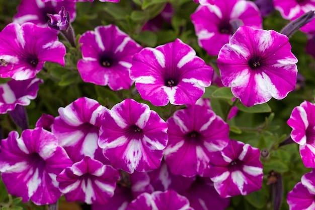 Розовые и белые петунии цветут в саду летом в солнечный день