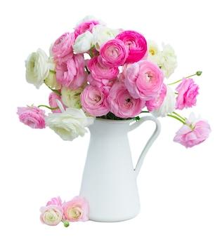Розовые и белые цветы лютик в горшке, изолированные на белом фоне