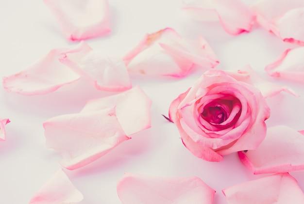 꽃잎과 분홍색과 흰색 장미