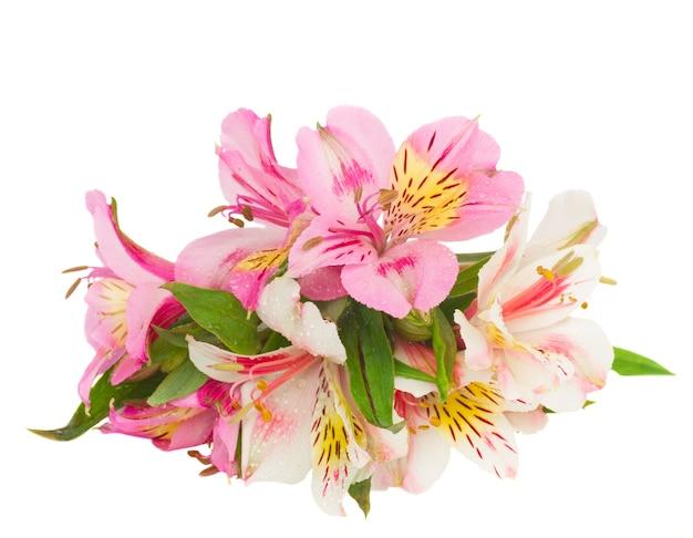 분홍색과 노란색 alstroemeria 꽃 흰색 배경에 고립