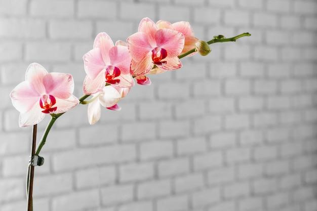 背景をぼかした写真にピンクと黄色のパステルオーキッドクローズアップ