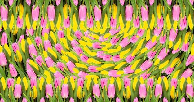 Розовый и желтый тюльпан цветы фон. плоская планировка. вид сверху. день святого валентина и фон дня матери.
