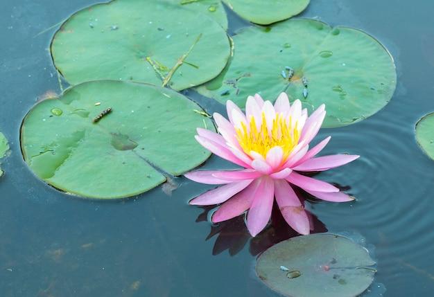 池のスイレンの横にあるピンクと黄色のスイレン。