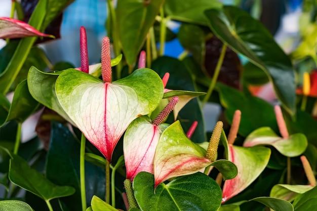 Розовый цветок антуриума цветущий в саду.
