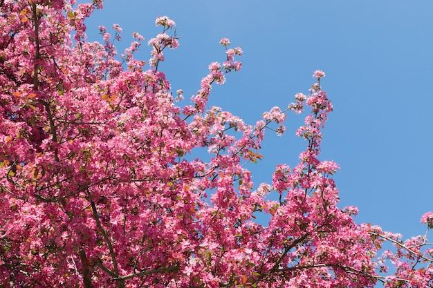 Pink apple flower on blue sky background. beautiful spring flowering tree in sunlight