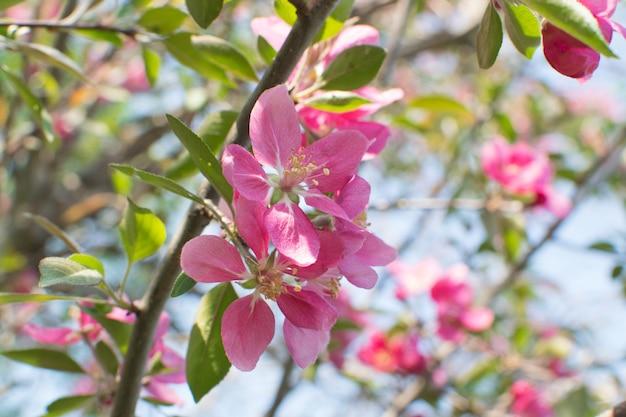 Pink apple flower in garden. beautiful spring flowers in sunlight