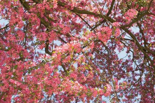庭のピンクのリンゴの花。日光の下で美しい春の花