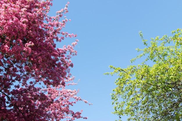 青い空の背景にピンクのリンゴの花。日光の下で美しい春の開花木