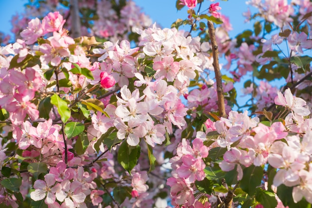 Pink apple flowers, spring background