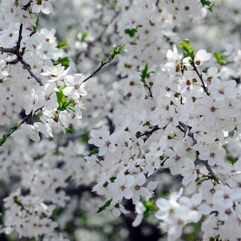 Pink apple tree blossoms with white flowers on blue sky background