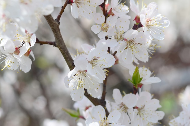 Pink apple tree blossoms with white flowers