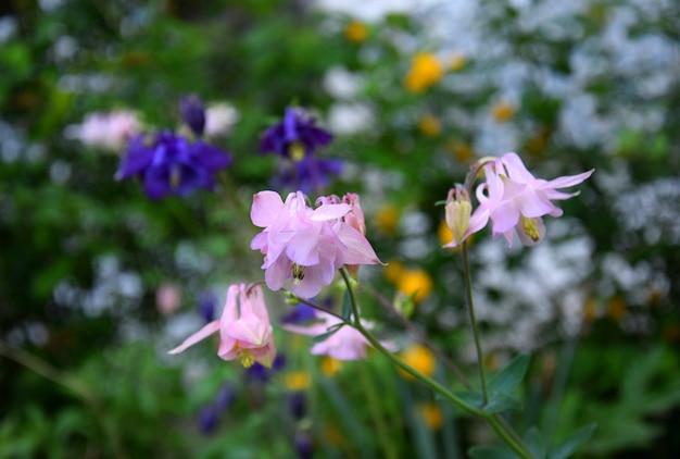 春の庭のピンクのオダマキの花