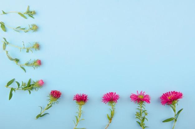 Pink aster flowers in a line (from a bud to a flower) forming a frame on a blue background