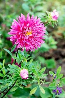 花壇の緑の葉のつぼみとピンクのアスター