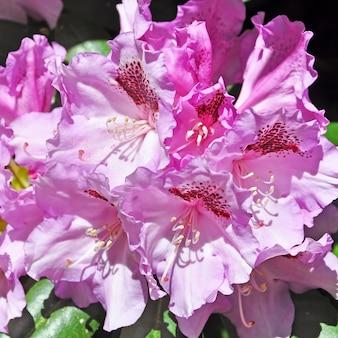 満開の背景にピンクのツツジの花。春のトロピカルガーデン。 4月、5月のシャクナゲの開花期。