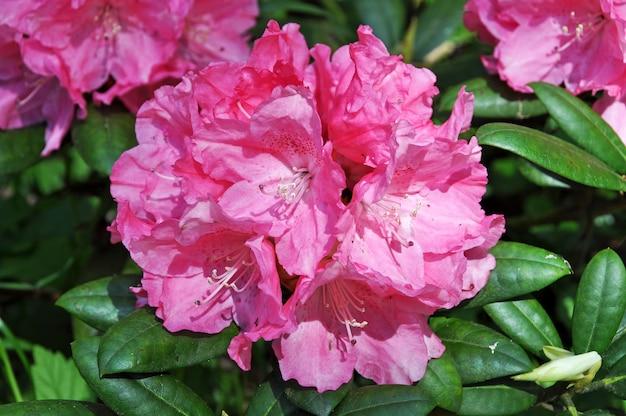 緑の葉で満開のピンクのツツジの花