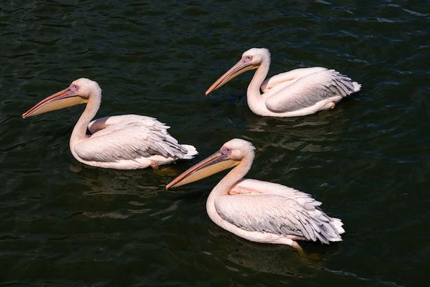 핑크 backet pelicans-pelecanus rufescens는 물에서 수영.
