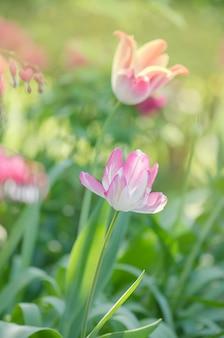 Pink beautiful parrot tulip flowers in garden