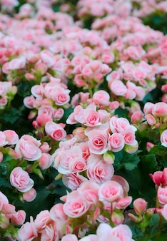 Pink begonia blossoms