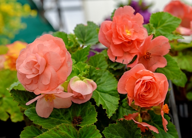園芸用品センターでピンクのベゴニアの花球根ベゴニア