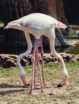 公園に立っているピンクの鳥のフラミンゴ