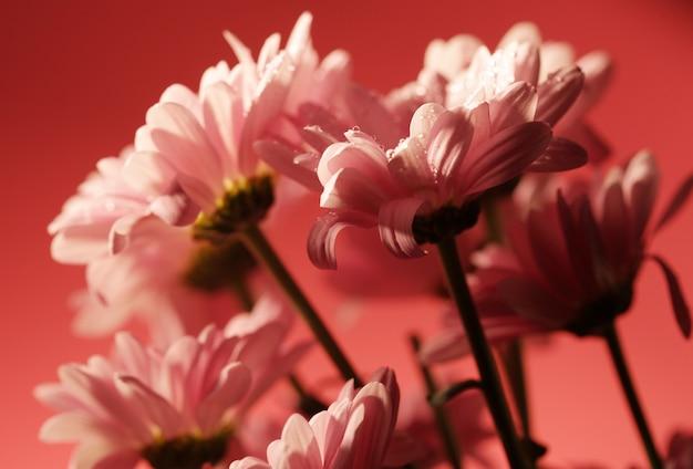 ぼやけたスペースでピンクの咲く菊の花