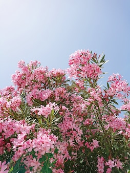 Pink blooming flowers of oleander on the branches