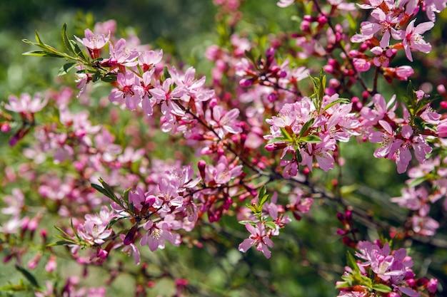 Розовый цветущий декоративный кустарник almonds low, amygdalus nana, крупным планом, местный фокус, неглубокая глубина резкости