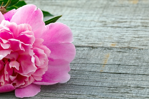 Pink blooming peony flower on the surface of the old boards with texture