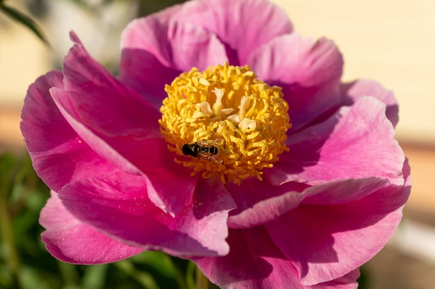 Pink blooming peony flowers in the garden.