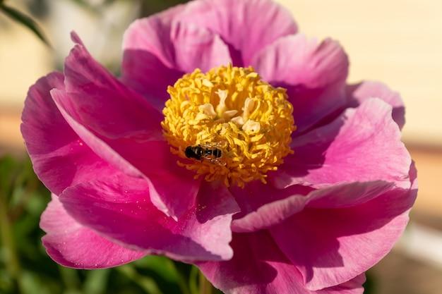 庭に咲くピンクの牡丹の花。
