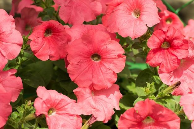 ピンクの咲くペチュニアの花