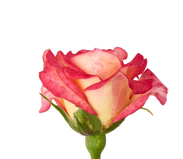 Pink blooming rose isolated on white