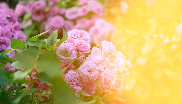 Pink blooming roses in the garden, rays of the bright sun, close up