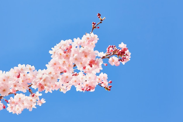 Pink blooming sakura. cherry blossom branch in bloom against blue sky