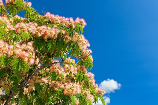 밝은 푸른 하늘 배경에 핑크 꽃 아카시아 나무 브런치