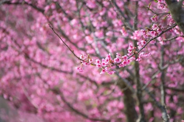 ピンクの花の木が咲く