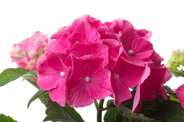 Pink blossoming hydrangea macrophylla or mophead hortensia close-up isolated