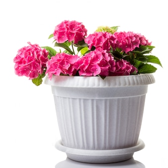 Pink blossoming hydrangea macrophylla or mophead hortensia in a flower pot isolated