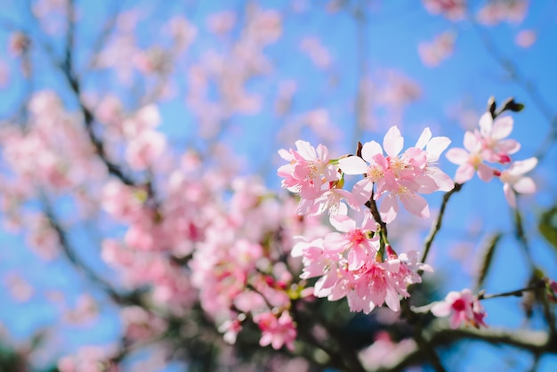Pink blossoms on the branch with blue sky during spring blooming