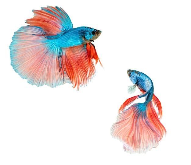 Pink and blue half moon betta splendens or siamese fighting fish isolated on white background.