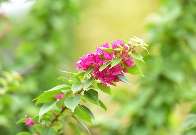 Pink bougainvillea flower beautiful blossoming in the garden