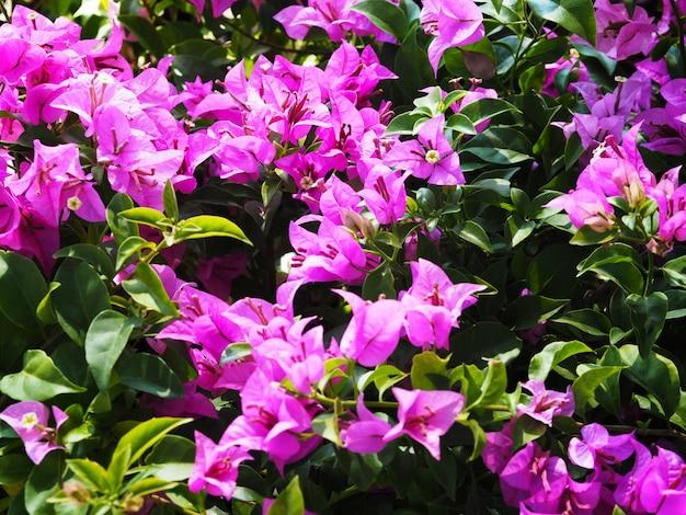 Розовый цветок бугенвилии в цвету.